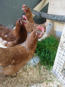 chickens and grass