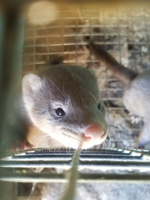 Baby mink2