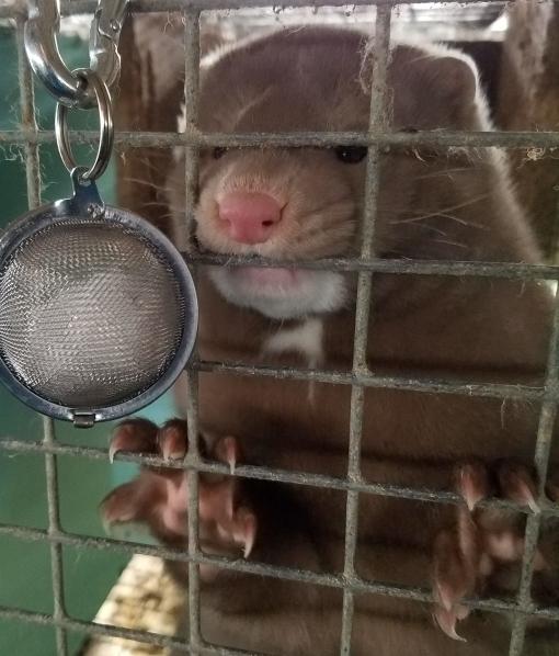 Eager mink